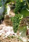 Burg_chard_grapes