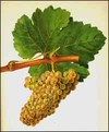 Chenin_blanc_grapes