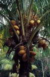 Coconuttreephoto